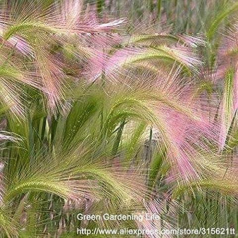 Semillas de plantas de cebada de cola de zorra 10pcs Hordeum jubatum Inicio Jardín Decoración Semillas de Plantas Bonsai omamental Grass