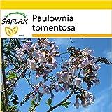 SAFLAX - Anzucht Set - Blauglockenbaum - 200 Samen - Paulownia tomentosa