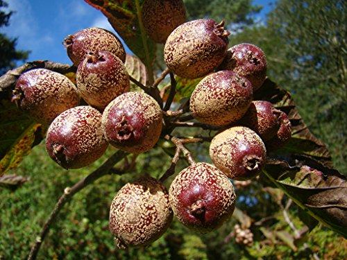 rare-fruit-tree-service-tree-sorbus-megalocarpa-ornamental-flowering-tree-stunning-autumn-colours