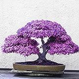 Brightup 20 Pieces japonais Graines D'érable--Violet