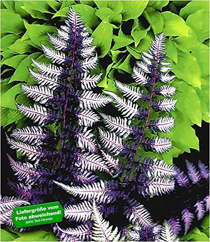 BALDUR-Garten Winterharter Schmuck-Farn \'Japanese Painting\', 1 Pflanze Athyrium Gartenfarn mehrjährig