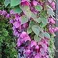 lichtnelke - Purpur-Glockenwinde (Rhodochiton atrosanguineum 'Purple Bell') Rosenkelch von Lichtnelke Pflanzenversand - Du und dein Garten