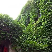 Crecerá 40 unids/bolsa Semillas de hiedra Semillas de enredadera Verde Anti-radiación plantas de ramos de rayos ultravioleta bonsai plantas trepadoras para el hogar y las plántulas de jardín Tigre