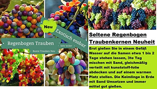 15x-regenbogen-trauben-bunt-samen-saatgut-pflanze-raritat-obstneuheit-140