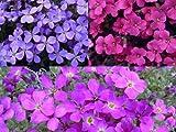 Blaukissen Mischung Aubrieta Grandiflora 1000 Samen