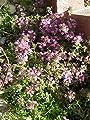 Thymus serpyllum Magic Carpet - Garten-Thymian, 50 Pflanzen von Dachstauden auf Du und dein Garten