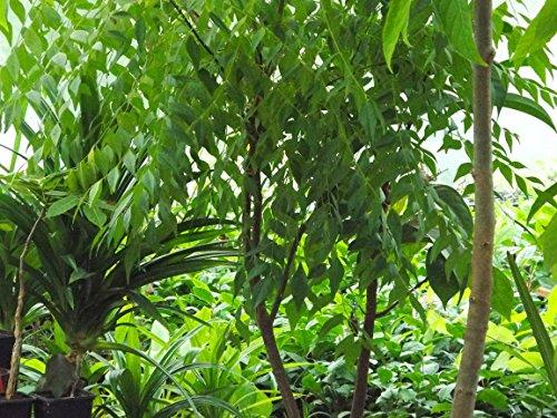 Curry leaf tree (Bergera Koenigi...