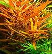 Wasserflora Zierliche oder Große Cognac Pflanze / Ammannia gracilis