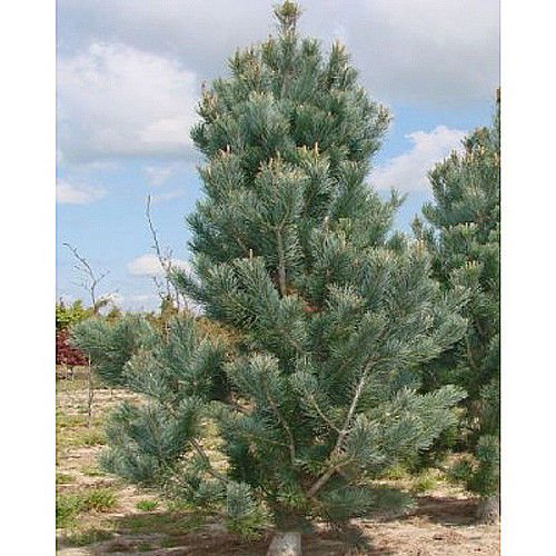 PLAT FIRM GERMINATIONSAMEN: 50 Border Kiefer Samen, Pinus Flexilus Reflexa