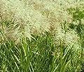 Weiss-Grünes Schilfrohr / Phragmites australis Variegatus im 9x9 cm Topf von WFW wasserflora - Du und dein Garten