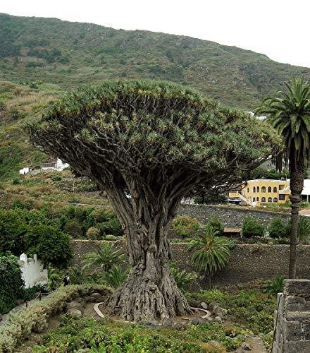 Kanarischer Drachenbaum (Dracaena draco) 10 Samen