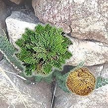 Unabi (TM) nuevo caliente práctico planta resurrección rosa de Jericó dinosaurio planta aire helecho Spike Musgo # 61285