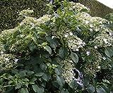 Kletterhortensie - Hydrangea petiolaris - Selbstklimmer, Fassadenbegrünung, große weiße Blüten, 60-100 cm