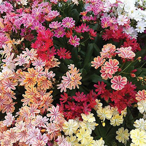 AIMADO Samenhaus-20 Stück Bitterwurz Blumensamen mehrjährig reichliche Blüte frosthart Rosettenpflanze,Sukkulente Pflanze,Porzellanröschen Saatgut Samen für Steingarten oder Trockenmauer geeignet