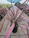 Phormium tenax Evening Glow - Neuseelandflachs - Neuseeländer Flachs - Harakeke Flax