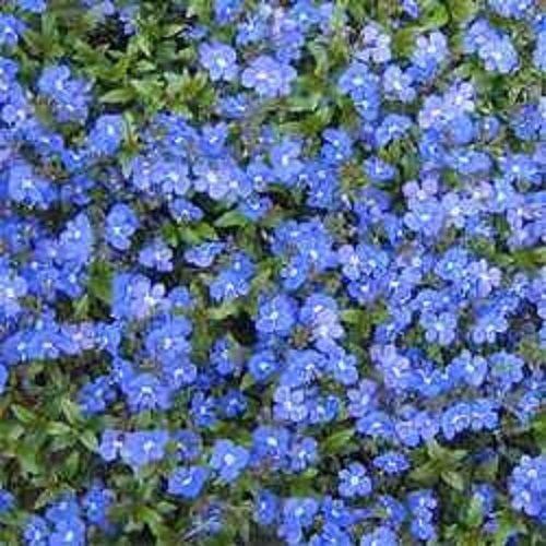 50 + SEMI DI VERONICA STRISCIAMENTO BLU SPEEDWELL perenne fiore GRANDE fiore reciso