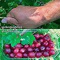 Stachelbeere Spinefree, Busch von Gärtner Pötschke auf Du und dein Garten