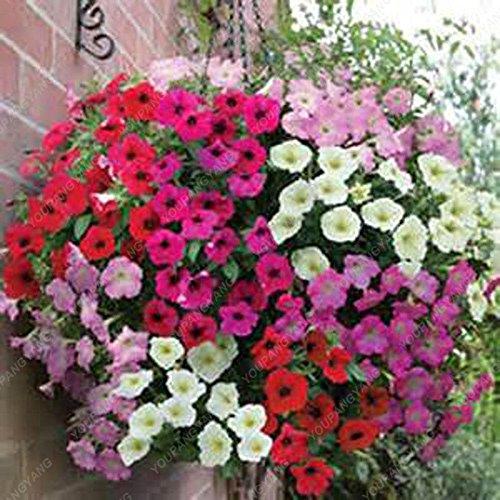 100 graines de pétunia --Black velours pétunia, variété rare, rustique, balcon durable, cour bonsaïs de fleurs pour le jardin de la maison rouge
