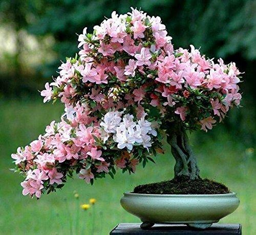 Bonsai-Baum japanischen Sakura-Samen 10 Samen / pack, Bonsai-Blume Kirschblüten