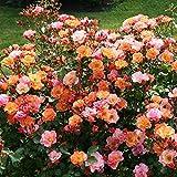 Rose Jazz® - Bodendeckerrose mehrfarbige Blüten in Orange Apricot Gelb