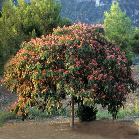Plant World Seeds - Albizia Jullibrissin Seeds