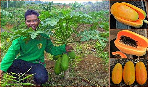 nouvelles-2016-graines-nain-papaye-semences-6-plants-de-legumes-et-darbres-fruitiers-g25