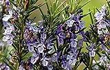 Rosmarin - Rosmarinus officinalis (50 Samen)