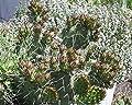 """Kakteengarten 1 winterharte Pflanze Opuntia phaeacantha """"Longispina"""" / Feigenkaktus im 9cm Topf von Eigenproduktion bei Du und dein Garten"""