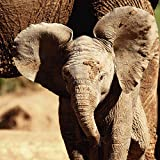 Artland Qualitätsbilder I Glasbilder Deko Glas Bilder 30 x 30 cm Tiere Wildtiere Elefant Foto Braun A6VR Elefantenbaby