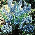 Traubenhyazinthen Kollektion (3 x 20) - 60 blumenzwiebeln von Meingartenshop - Du und dein Garten