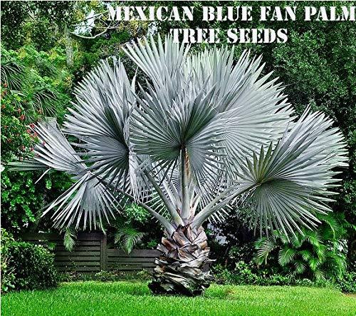 PLAT FIRM GERMINATIONSAMEN: 10 mexikanische blaue Fan Palm Tree Seeds