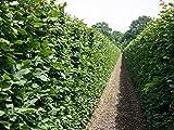 10 Stk. Hainbuche Hainbuchenhecke Wurzelware 150-175 cm hoch - Carpinus betulus - Garten von Ehren®