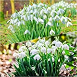 50 x Single Snowdrop and 50 x Double Snowdrop Bulbs