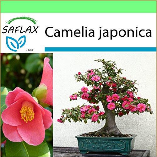 saflax - garden to go - camelia del giappone - 4 semi - camelia japonica