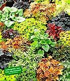 BALDUR-Garten Winterharter Bodendecker Blattschmuck-Raritäten-Mix, 5 Pflanzen Athyrium, Heuchera, Brunnera