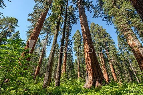 druck-shop24 Wunschmotiv: Sequoia Tree in Calaveras Big Trees State Park #180374877 - Bild als Klebe-Folie - 3:2-60 x 40 cm / 40 x 60 cm -