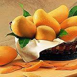 Ncient 2 Semi Sementi di Albero di Mango Organic Mango Semi di Frutta Rara Profumati per Orto Giardino Balcone Interni ed Esterni