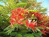 Flammenbaum Delonix regia Flamboyant Pflanze 10cm tolle rote Blüten Exot Rarität