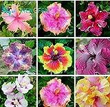 Auf Verkauf. 200Stück HIBISKUS Samen 24Arten Chinesischer Roseneibisch Blumensamen Hibiskus Baum Samen für Blumen Topfpflanzen