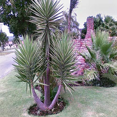 Portal Cool Spanisch Bajonett Seeds Yucca aloifolia Flowering Tree Groß 40 Seed Pack