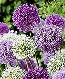 RIESEN LAUCH (Allium giganteum) MIX - violett und weiss - 2 x 30 Samen / Pack - Zierlauch - Winterhart - Riesenlauch