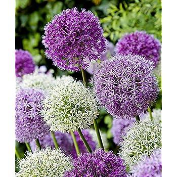 allium giganteum ail d ornement g ant 15 graines jardin. Black Bedroom Furniture Sets. Home Design Ideas