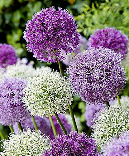 RIESEN LAUCH (Allium giganteum) MIX - violett und weiss - insg. 60 Samen/Pack - Zierlauch - Winterhart - Riesenlauch