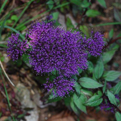 Plant World Seeds - Trachelium Caeruleum 'Black Knight' Seeds