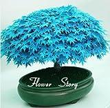 Selten Blau Maple Samen Bonsai-Baum-Pflanzen-Topfklage für DIY Hausgarten Japanischer Ahorn-Samen 20 PC / Kinds
