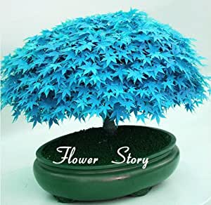 selten blau maple samen bonsai baum pflanzen topfklage f r diy hausgarten japanischer ahorn. Black Bedroom Furniture Sets. Home Design Ideas