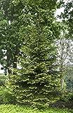 Picea orientalis Aurea (Orientalische Goldfichte) 70-80cm / 12l-Container (Heckenpflanzen, Nadelgehölze)