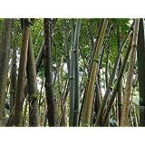 Asklepios-seeds® - 100 Semillas de Dendrocalamus strictus Dendrocalamus, bambú