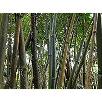 Asklepios-seeds® - 250 Semillas de Dendrocalamus strictus Dendrocalamus, bambú