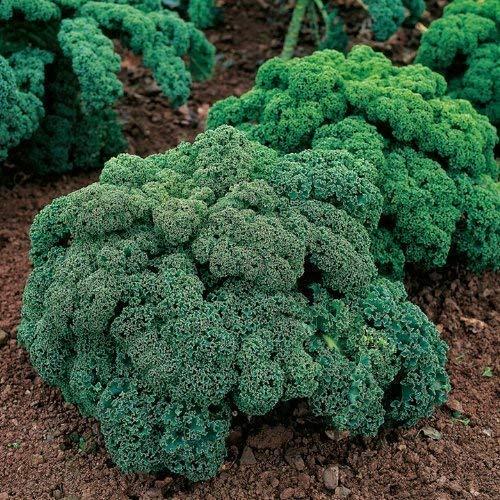 Seekay Berza ( Kale ) Enano Verde Rizado - Aprox 3,000 Semillas - Verduras - Verduras - Semillas